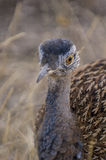 Female black korhaan Royalty Free Stock Images
