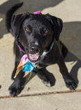 Female Black Labrador Retriever Mix in Sitting Position Looking Up Royalty Free Stock Photos
