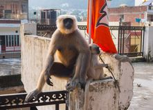 Female black langur with calf. In Rishikesh India Royalty Free Stock Photos