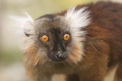 Female Black Lemur. In Mozambique Stock Image