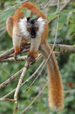 Female black lemur. Female the black lemur passes from a branch to branch in searches of food Stock Photography