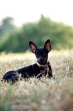 Female black miniature pinscher dog lying on the grass. Female black small miniature pinscher dog lying on the grass.at Prachuap Khiri Khan Province, Thailand Stock Images