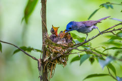Female Black-naped monarch Royalty Free Stock Photo