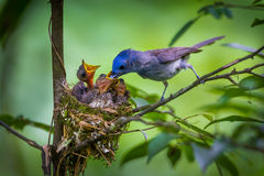 Female of Black-naped monarch Stock Photography