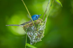 Female Black-naped Monarch Royalty Free Stock Images