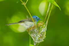 Female Black-naped Monarch Royalty Free Stock Photos