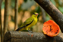 Female Black-naped Oriole (Oriolus chinensis) royalty free stock photography