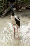 Black-necked stork Stock Photos