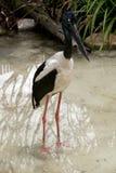 Black-necked stork Royalty Free Stock Photo