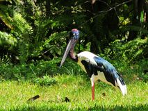 Female Black-necked Stork Stock Image