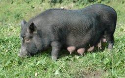 Female black pig Stock Photos