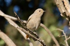 Female Black Redstart Stock Photos