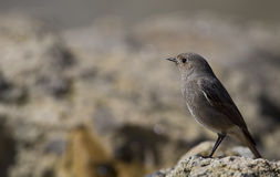 Female Black Redstart. A female black redstart is looking around on a piece of rock Stock Photography