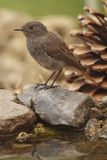 Female Black Redstart Royalty Free Stock Photos