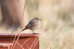 Female Black Redstart. Stock Photos