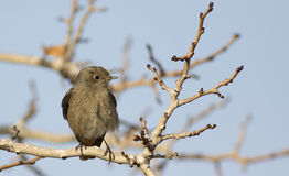 Female Black Redstart Royalty Free Stock Images