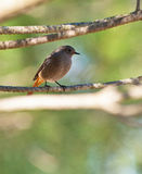 A female Black Redstart on a twig Stock Photo