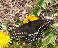 Female Black Swallowtail butterfly Stock Images