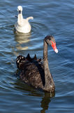 Female Black swan with her cygnet Stock Photos