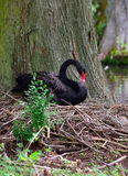 Female Black Swan Nesting Royalty Free Stock Images