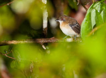 Female Black-tailed Antbird Royalty Free Stock Photography