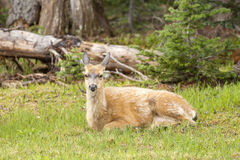 Female Black-tailed deer laying in grass. Royalty Free Stock Photos