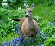 Female black-tailed Deer, Olympic National Park Stock Photo