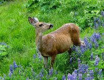 Female black-tailed Deer, Olympic National Park Stock Photography