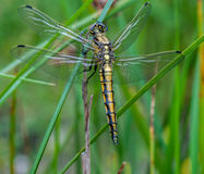 Female Black Tailed Skimmer Royalty Free Stock Photos