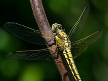 A female black-tailed skimmer sitting on a stem. A female black-tailed skimmer Orthetrum cancellatum sitting on a stem stock photography