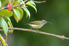 Female black throated sunbird Royalty Free Stock Image