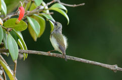 Female black throated sunbird Royalty Free Stock Images