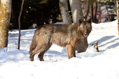 Female black timber wolf Royalty Free Stock Images