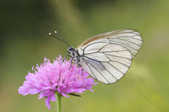 Female of Black-veined White  butterfly, Aporia crataegi. Female of Black-veined White  butterfly on the pink flover Royalty Free Stock Photos