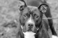 Black and white American Pit Bull Terrier dog erect ears stock photos