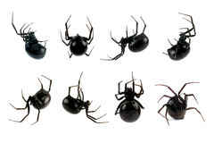 Female Black Widow Spider. Spider, Black Widow, Lacrodectus Hasselti, female, various views isolated on white, length 14mm Royalty Free Stock Images