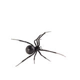 Female Black widow spider. Dorsal bird's eye view of female black widow spider, isolated on white Stock Photo