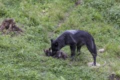 Female black wolf grooming her small pup. Lying in grass in summer Stock Image