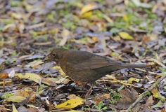 Female Blackbird Royalty Free Stock Image