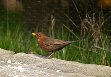 Female Blackbird. An image of a female common blackbird standing on a rock with a green background royalty free stock photography