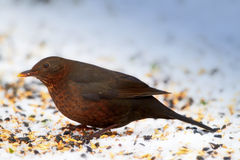 Female Blackbird Royalty Free Stock Photography