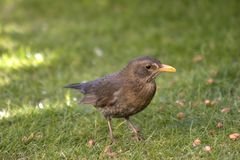 Female Blackbird. This image of a female Blackbird was captured in Wales, UK Stock Photography