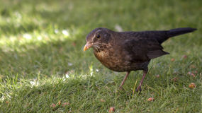 Female Blackbird. This female Blackbird was captured in North Wales in the UK Stock Photo