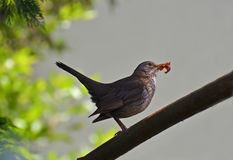 Female blackbird. On the stem with the food in the bill Royalty Free Stock Images