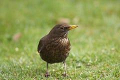 Female blackbird Royalty Free Stock Photos