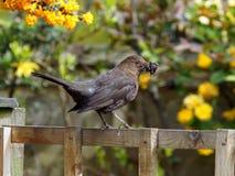 Female Blackbird. A female blackbird with nesting material in her beak Stock Image