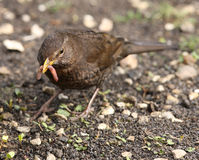 Female Blackbird Royalty Free Stock Photos