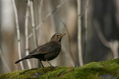 Female blackbird Royalty Free Stock Images