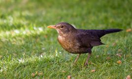 Female Blackbird Stock Images