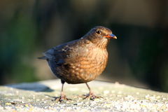 Female blackbird. Royalty Free Stock Photos